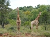 Crocuta Game Lodge - Out And About - 31 - giraffe