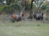 Crocuta Game Lodge - Out And About - 32 - nyala